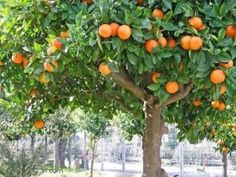 Sour Orange Tree Full Fruit Stock Photo (Edit Now) 869455 Sour Orange, Orange Fruit, Green And Orange, Orange Trees, Plant Guide, Photo Tree, Companion Planting, Fruit Trees, Citrus Trees
