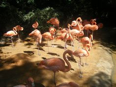 A whole flock of flamingoes