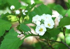 Native Shrubs for Plantings as Wildlife Food