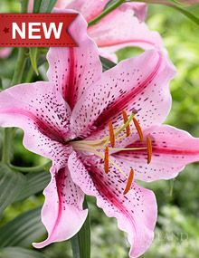 Oriental Lily Bulbs: Buy Oriental Lilies