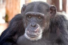"MISSY : Missy is an adventurous, athletic thrill seeker. If she were a human, she'd be the type to enjoy activities like sky diving and bungee jumping. She's extremely loyal to her chimpanzee group, and will stick up for any of them at anytime, no questions asked. Her propensity for tending to the other chimps' wounds has earned her the nickname ""Dr. Missy."" She would do anything for tomatoes."