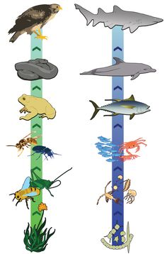 Make a food chain ribbon... Great idea