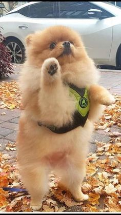 Cute Fluffy Dogs, Cute Baby Dogs, Super Cute Puppies, Cute Dogs And Puppies, Cute Little Animals, Cute Funny Animals, Pom Dog, Cute Pomeranian, Cute Animal Pictures
