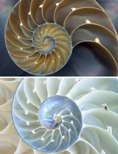 Nautilus shells -- also called Fibonacci spirals.