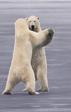 Alaska Dancing Bears by Frans Lanting. Beautiful Creatures, Animals Beautiful, Cute Animals, Wild Animals, Bear Pictures, Animal Pictures, Funny Pictures, Photo Ours, Frans Lanting