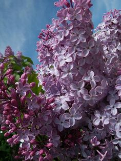 http://fineartamerica.com/featured/lilac-blooms-sharon-duguay.html