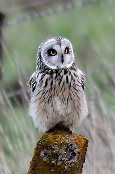 Short-eared Owl | Short-eared Owl | Flickr - Photo Sharing!