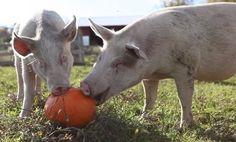 Rescue Pigs Love Pumpkins (Video)