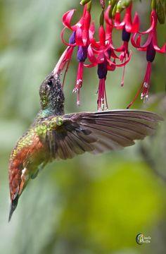 "Hummingbird & Fuchsia flower.       (""Multicolor !!! by Alessia Noè on 500px."")"