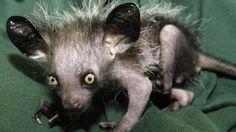 Just because these slimy, spiky, smelly and simply strange animals aren't as cute to look at as others, it doesn't mean they should be ignored.  That's where the Ugly Animal Preservation Society comes in. It has launched a campaign to find the ugliest animal of them all to be their new mascot.