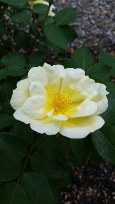 Soft yellow rose,  May 2015