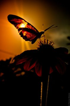 Butterfly in sunrise Papillon Butterfly, Butterfly Kisses, Orange Butterfly, Amazing Photography, Art Photography, Cool Photos, Beautiful Pictures, Dame Nature, Fotografia Macro