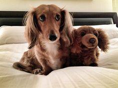 Can't we sleep HERE?  doxie & friend