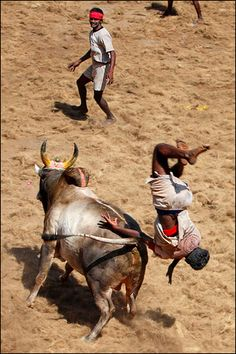 Jallikattu - License to Fly || leaping over bulls is an ancient sport, look at the Minoan and ancient Crete for bull jumping.