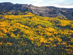 The Aspen trees are peaking here on Wolf Creek Pass