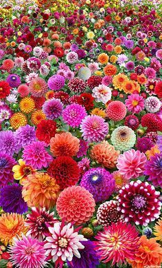 Crazy Dahlia on Steroids. Please share if you love dahlias. - Crazy Dahlia on Steroids. Please share if you love dahlias. Exotic Flowers, Amazing Flowers, Pretty Flowers, Flowers In Hair, Church Wedding Flowers, Yellow Wedding Flowers, Purple Flowers, Green Wedding, Wedding Lavender