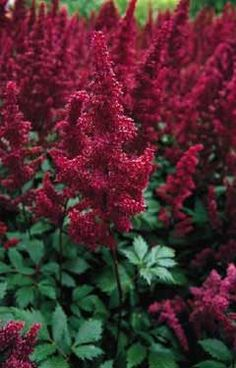 Top 10 Shade Plants | Birds & Blooms    Astilbe - Border for my Shade Garden!