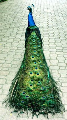 I wish I was as pretty as a peacock