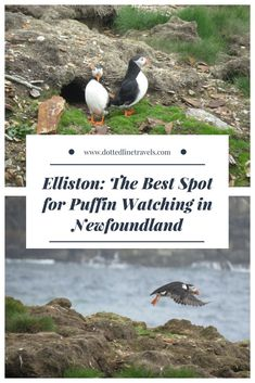 All you need to know about the puffin viewing site in Elliston. Hands down the best place for puffin watching in Newfoundland! Newfoundland Canada, Newfoundland And Labrador, Places To Travel, Places To Go, Travel Destinations, Travel Tips, Canadian Travel, Canadian Rockies, East Coast Road Trip