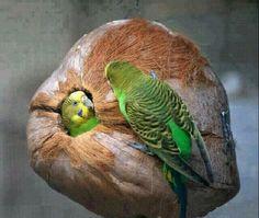 Budgies & their Coconut nest Kinds Of Birds, All Birds, Cute Birds, Pretty Birds, Beautiful Birds, Nester, Crazy Bird, Foto Art, Budgies