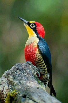 Carpintero arcoíris o carpintero de frente amarilla (Melanerpes flavifrons). Es un ave de la familia Picidae que mide 19,5 cm y se encuentra en Paraguay, Brasil y Argentina.