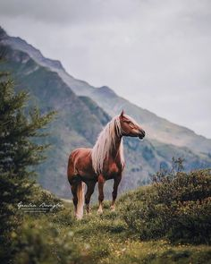 photo : Giulia Basaglia Photo taken during Pride of Tyrol Workshop, organized by. photo : Giulia B Haflinger Horse, Beautiful Horse Pictures, Most Beautiful Horses, Animals Beautiful, Cute Horses, Pretty Horses, Horse Love, Horse Wallpaper, Wild Horses