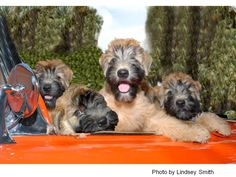 Moonstruck wheaten terriers