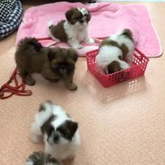 Cutest Shih Tzu Puppies Cutest Shih Tzu Puppies Source by chuckoonix The post Cutest Shih Tzu Puppies appeared first on Levy Pet Supplies. Baby Shih Tzu, Teacup Shih Tzu, Shih Tzu Hund, Perro Shih Tzu, Shih Tzu Puppy, Shih Tzus, Cute Teacup Puppies, Shitzu Puppies, Cute Dogs And Puppies