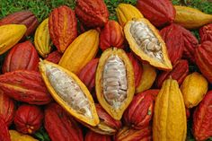 Cacao (Theobroma cacao) is also known as a cacao tree or cocoa tree, grows to about in size and is part of the Malvacaeae family. Chocolate Tree, How To Make Chocolate, Making Chocolate, Cacao Chocolate, Chocolate Dreams, Chocolate Lovers, Cocoa Plant, Cacao Benefits, Le Cacao