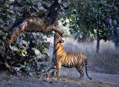 トラと冬の光(インド)