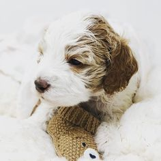 Apricot and white parti Australian Labradoodle Puppy Australian Labradoodle Puppies, Labradoodles, New Puppy, Montana, This Is Us, Dogs, Animals, Animales, Animaux