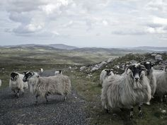Sheep on Muckish mountain, Donegal, Ireland
