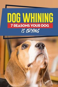 Dog Whining 7 Reasons Your Dog Is Crying Dog Whining 7 Reasons