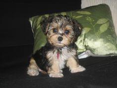 such a cute Yorkie Poo.