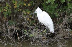 Little egret  #Little_egret - Le Parc Ornithologique de Pont de Gau #Bird_watching Birdwatching, Animals, Animais, Animales, Animaux, Animal, Birds
