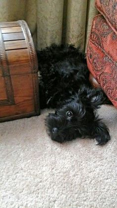 17 Best ideas about Nap Schnauzer on Pinterest