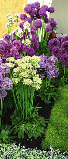 Шарообразные соцветия одинаково стильно выглядят и в посадках, и в срезке.
