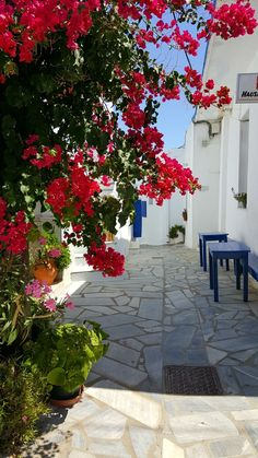 Tinos Greece Tinos Greece, Greek Flowers, Greek Isles, Holiday Accommodation, Bougainvillea, Thessaloniki, Flowering Trees, Greece Travel, Science And Nature