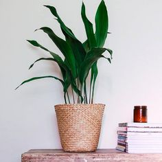 Staś z Japonii || Aspidistra elatior Big Indoor Plants, Large Plants, Cat Safe Plants, Houseplants Safe For Cats, Cast Iron Plant, Floor Plants, Decoration Plante, Spider Plants, Bathroom Plants