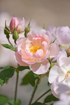'Scarborough Fair' semi-double David Austin rose by Clive Nichols Photography