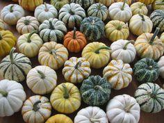 Long Island Seed/Mini Pumpkins