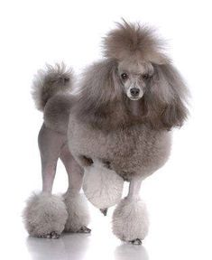 Beautiful Toy Poodle Humans call me Sassy can you guess why???