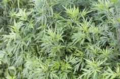 There are many varieties of Artemisia, also known as mugwort and wormwood plant. One of the most common varieties is sweet Annie plant. Growing sweet Annie and other wormwood plants is easy. Learn more here. Vegetable Garden Planning, Backyard Vegetable Gardens, Wormwood Plant, Organic Weed Control, Dried And Pressed Flowers, Sweet Annie, Invasive Plants, Garden Weeds, Organic Herbs