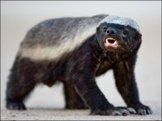 Honey badger doesn't give a...    Google Image Result for http://www.badassoftheweek.com/honeybadger1.jpg