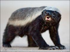 Honey badger doesn't give a...    Google Image Result for http://www.badassoftheweek.com/honeybadger1.jpg