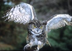 great horned owl - Google Search