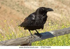 Raven Stock Photos, Images, & Pictures | Shutterstock