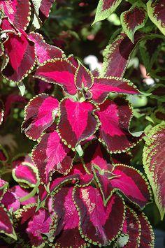 6 COLEUS ALLIGATOR ALLEY Live Plants Plugs Garden Home DIY Planters