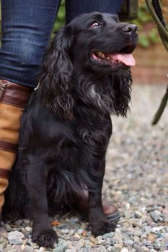 Working Cocker, Working Dogs, Spaniel Breeds, Dog Breeds, Working Spaniel, Black Cocker Spaniel, Dog Best Friend, Cockerspaniel, Dogs And Puppies