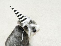Birthday Boy by Capree Kimball #Miniature #Schnauzer